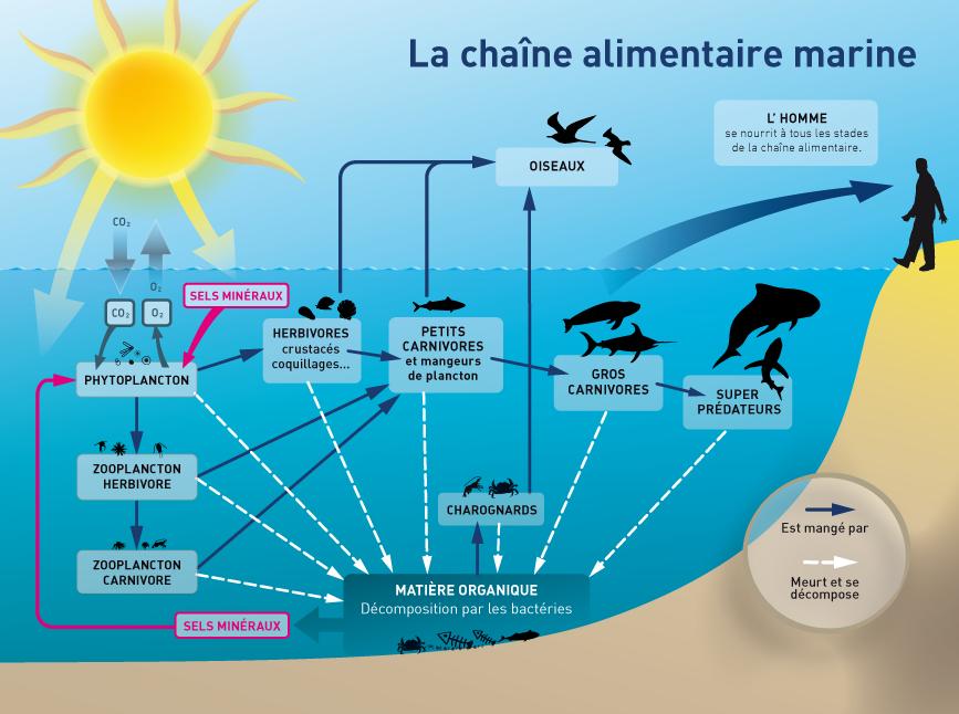 La chaine alimentaire marine