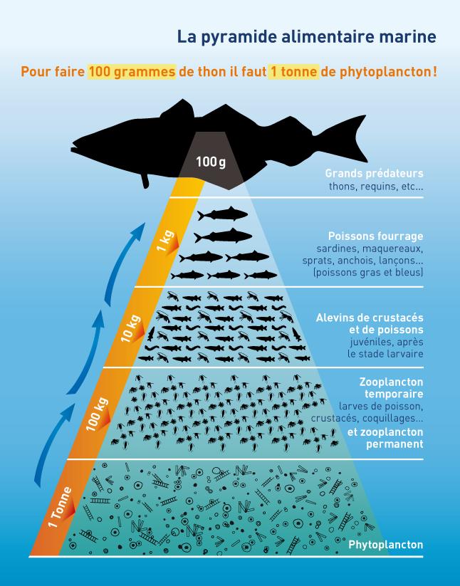 La pyramide alimentaire marine